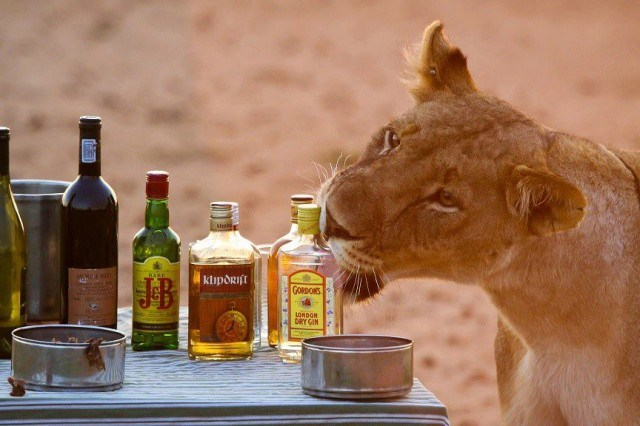drinking-with-lions